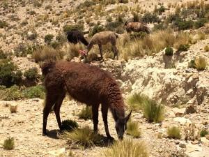 Perou - Canyon de Colca - 0052